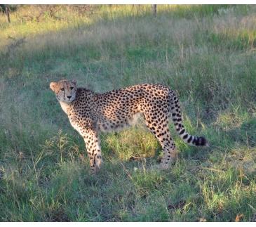 DSC_0629 - phinda - cheetah